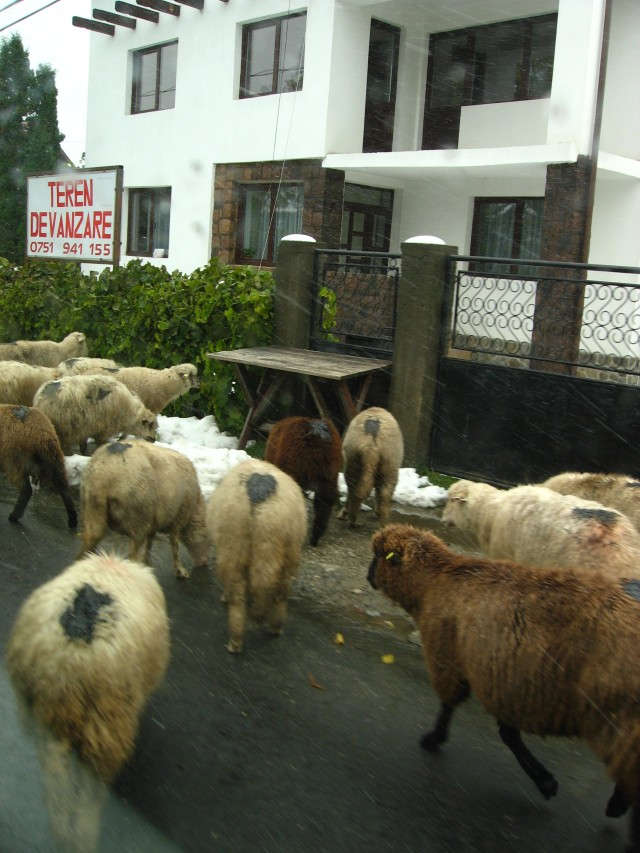 We almost crashed thanks to a flock of sheep. We also got to hear a lot of Romanian swearing from Andre and the herder!