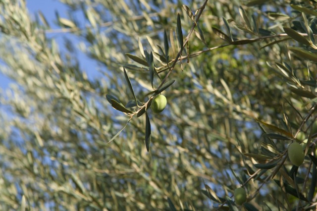 My artsy shot of some of the olive trees