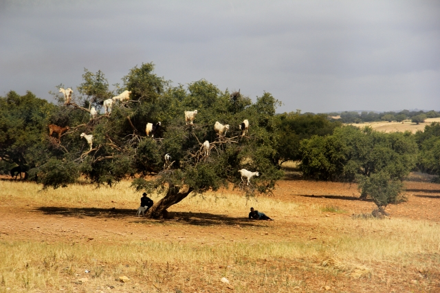Goats in trees! on our bus ride to Essaouira